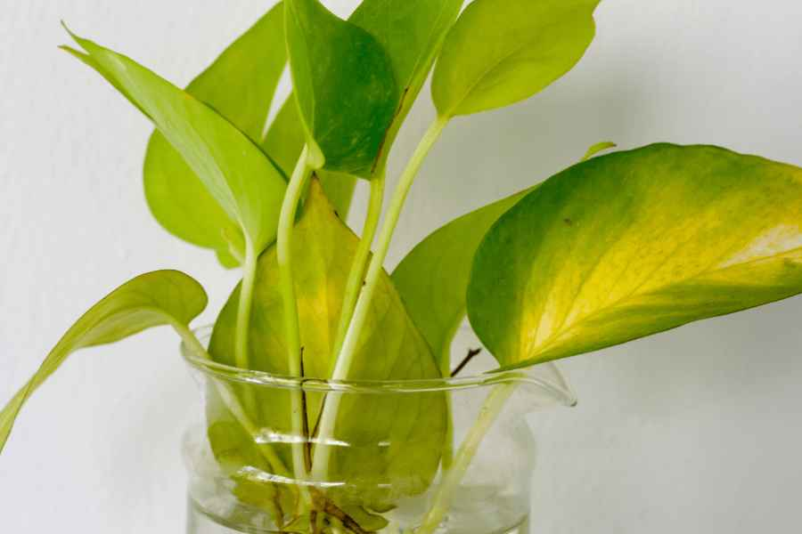 how to water pothos
