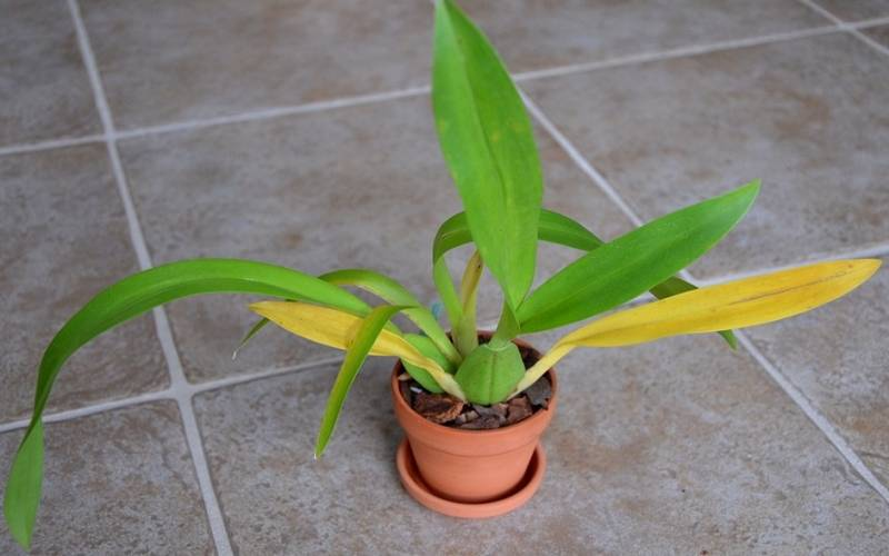 orchid plant leaves turning yellow