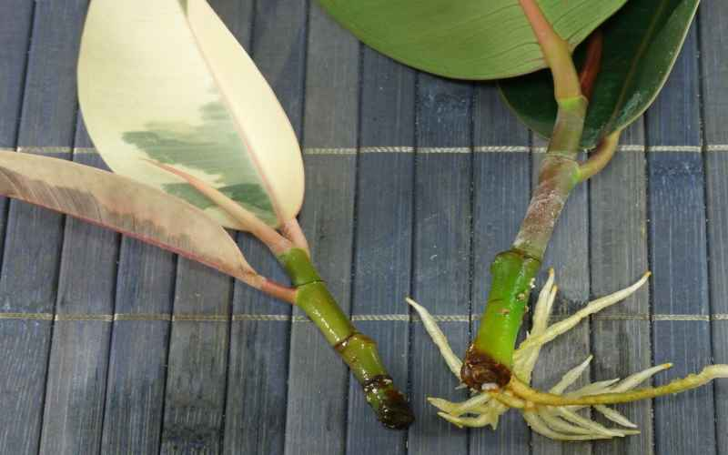 rubber plant cutting