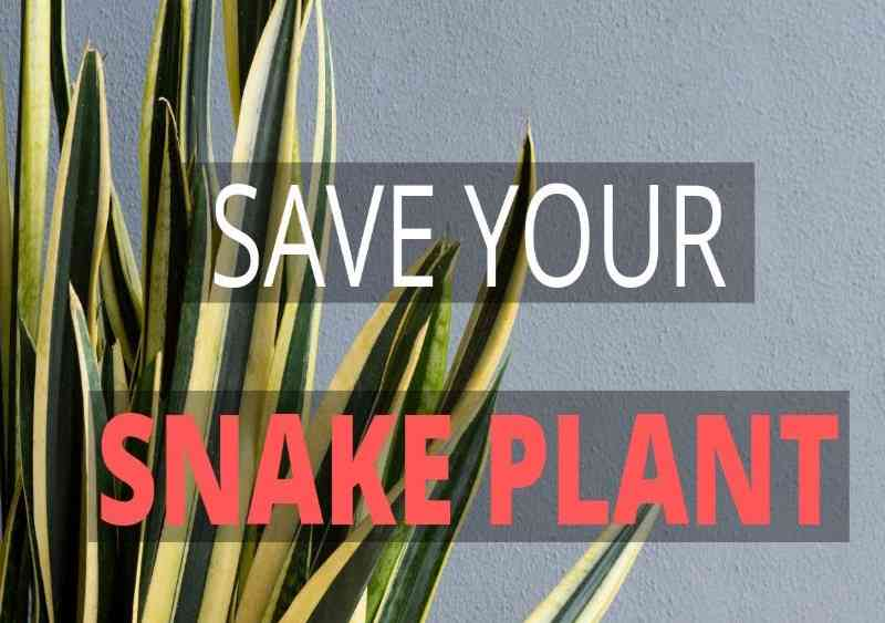 Why is my snake plant dying?