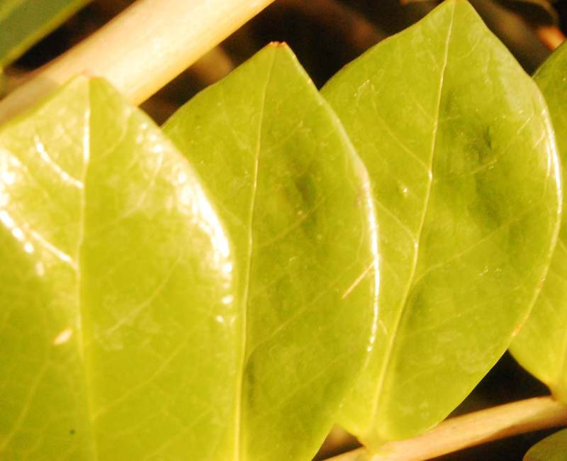 ZZ plant leaves turning yellow and the Solutions
