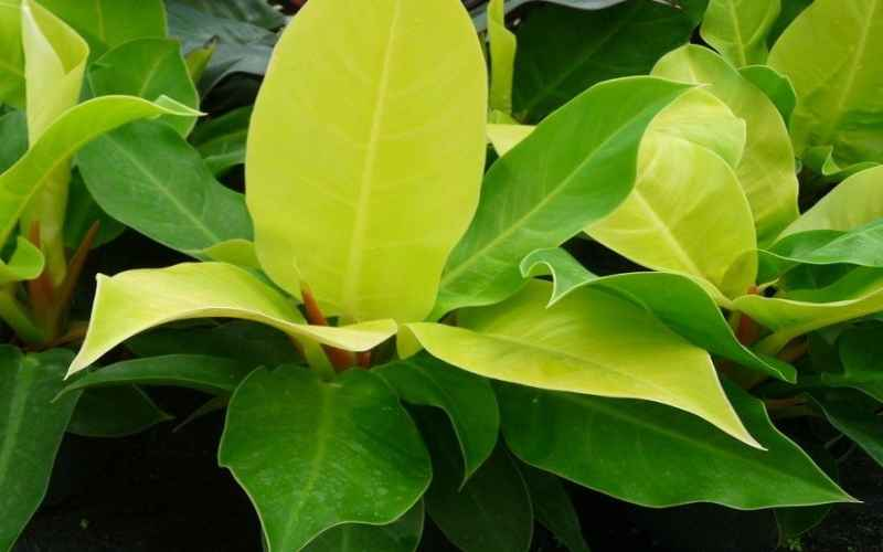 Philodendron Moonlight Care Guide