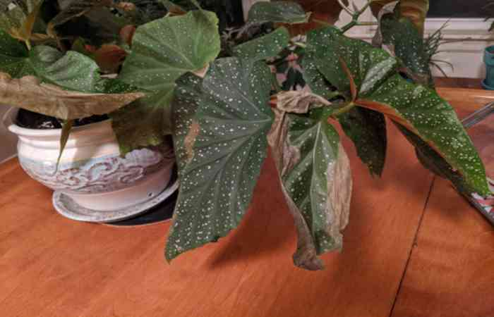 begonia leaves problems