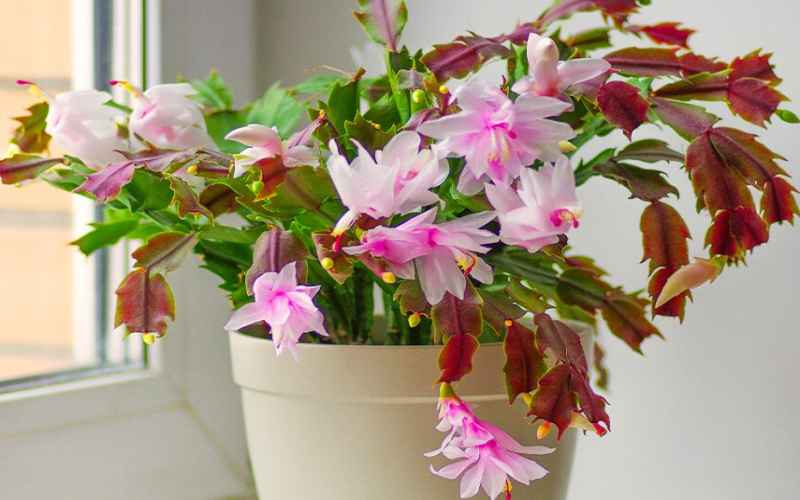 Christmas Cactus dropping leaves and Solutions