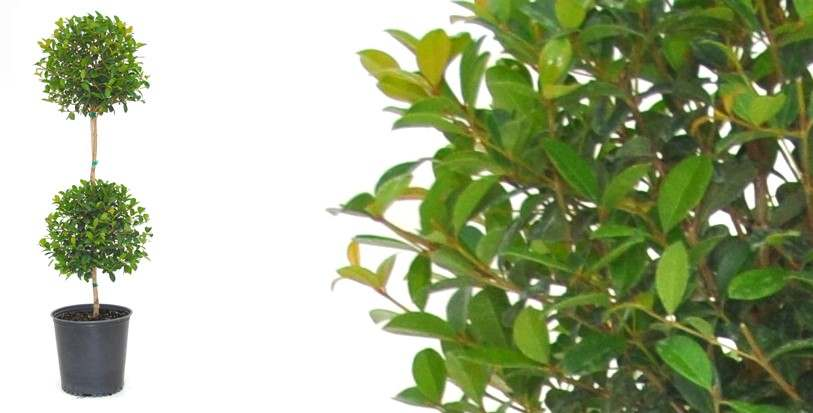 How to grow and care for Eugenia Topiary plants?