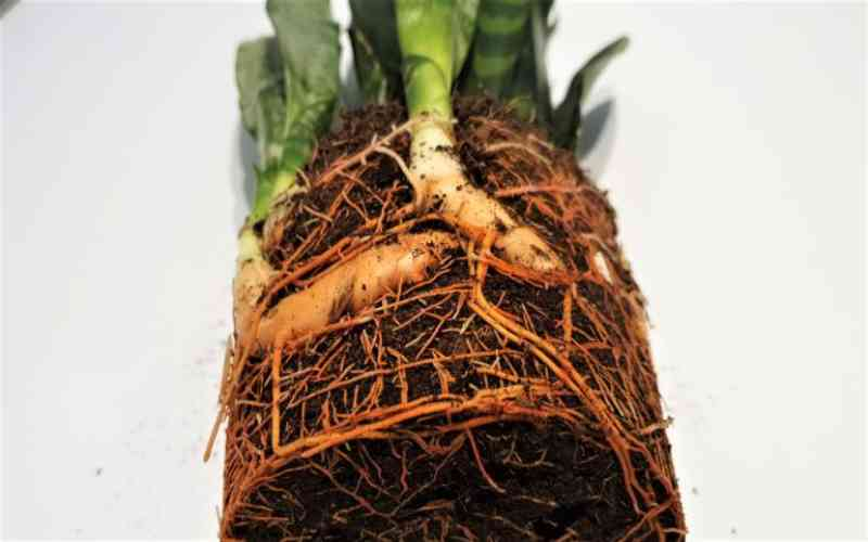 snake-plant-root rot