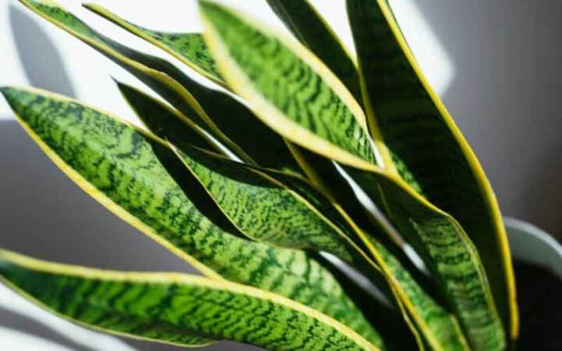Why your Snake plant is not growing? Quick fix techniques