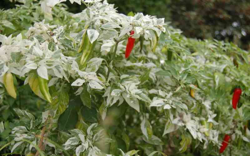 The Fish Pepper growing guide