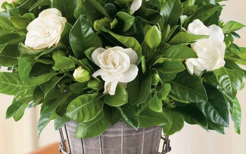 How to grow and care for gardenia plants?