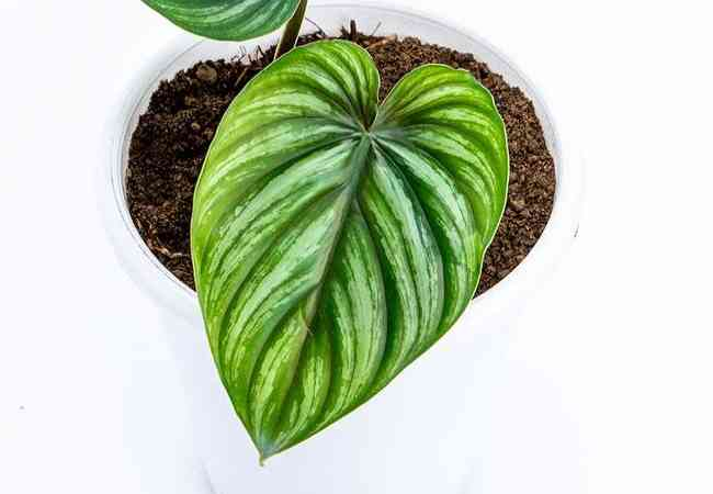 Philodendron plowmanii care
