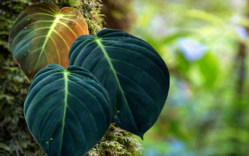 How to care for philodendron Gigas?