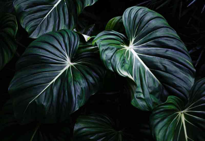 How to care for Philodendron McDowell plant?