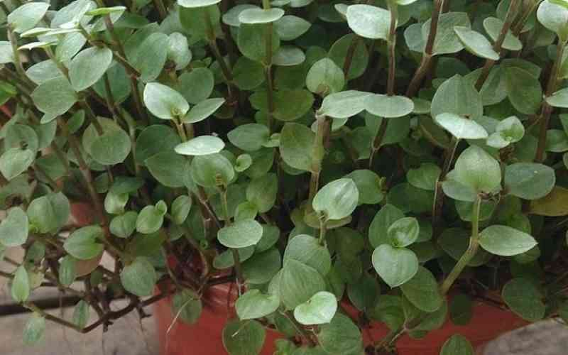 How to care Turtle Vine plant in easy steps?