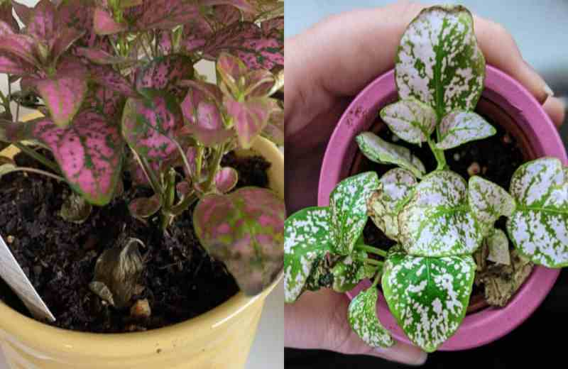 Why is your polka dot plant dying (Causes and Solutions)