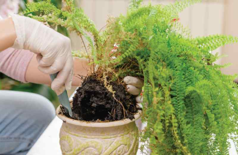 Most Common Signs of Overwatered Fern and How to Fix it