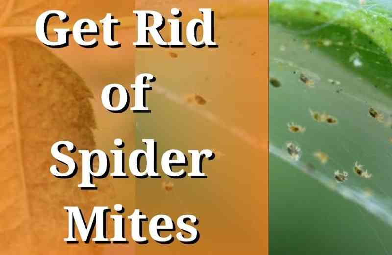 How to get rid of spider mites on indoor plants?